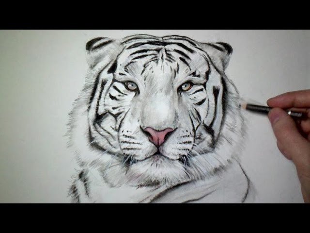 Comment dessiner un tigre tutoriel my crafts and diy - Apprendre a dessiner un tigre ...