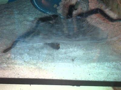 Mygale crochet venin